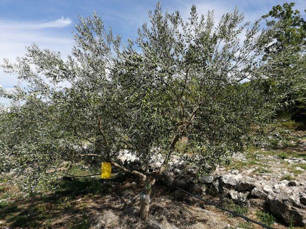 Maslinovo ulje s Teskere proglašeno najboljim 2020.